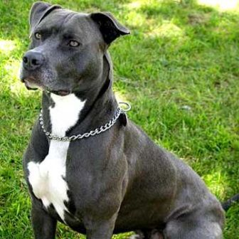 pit bull home insurance